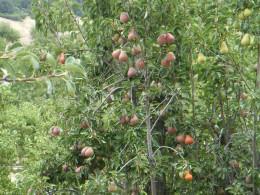 Pear Trees, Julian