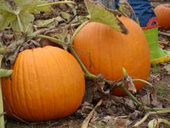 Pumpkins ripe for picking!