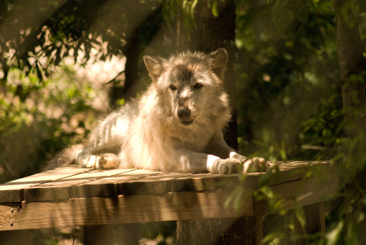 Hopa considers herself to be the Alpha female grey wolf. That works, because she's the only female.