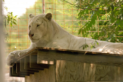 Arthur Tiger, large and in charge, at the Conservators' Center in Mebane NC. (c) 2012 by PhotoOwl