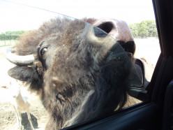 One of the bison that wanted more food!  They loved to slime the windows!