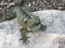 Eastern Water Dragon (Physignathus lesueurii subsp. lesuerii)