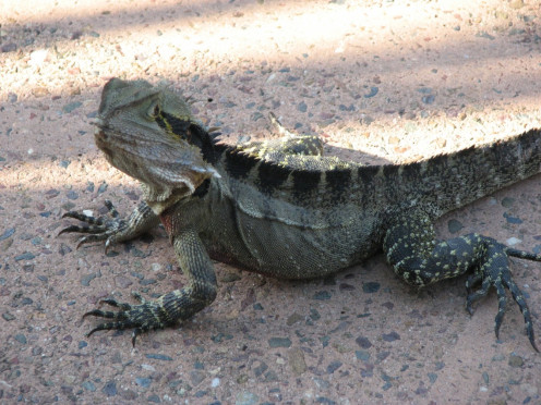 Must have gotten a little too hot in the sun for this lizard.