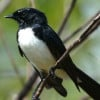willywagtail profile image