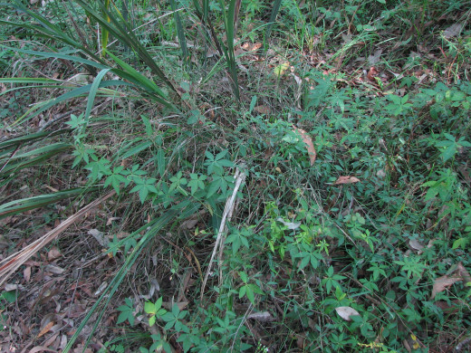 Carefully removing a weed that can regrow from missed pieces, like this mile-a-minute vine, can take a long time.