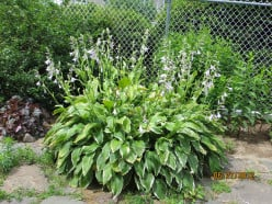 Hosta: A Shade Plant