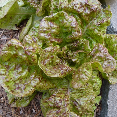 Strawberry Cabbage lettuce. A soft, butterhead green leaf with red speckles.