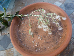 As seed dries, gently blow away the chaf, saving the small white lettuce seed.