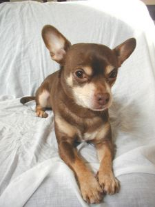 "This chihuahua is beautiful because he's well bred, not because he's of the ""teacup"" variety."