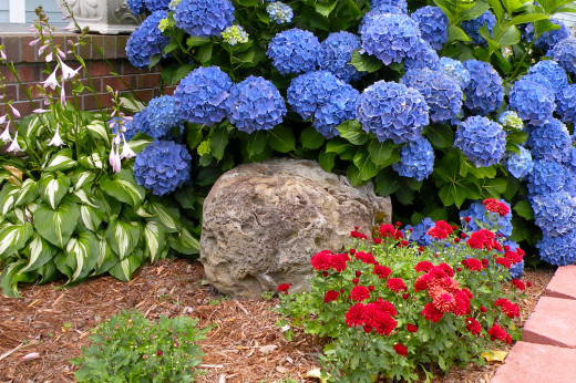 Red Chrysanthemums and deep blue hydrangea surround a big rock we moved from our old house in New York.