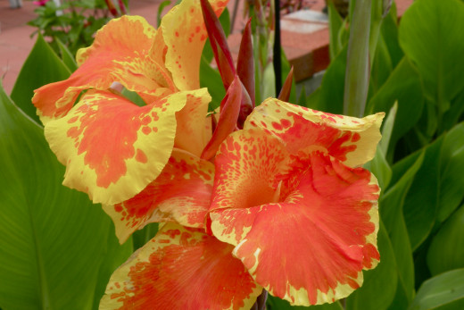 Close-up of canna lily.