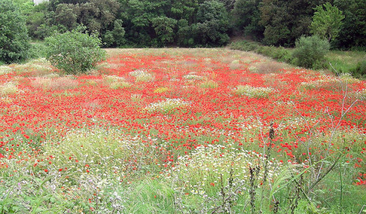 A Field of Poppies, a symbol for those lost who have no graves.