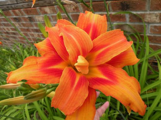 Double orange lilies.