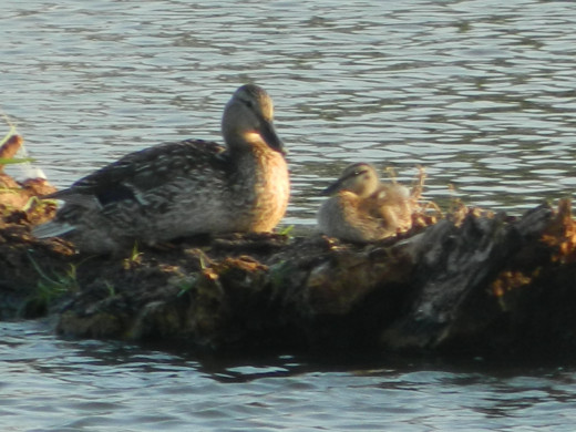 Mallard female with duckling