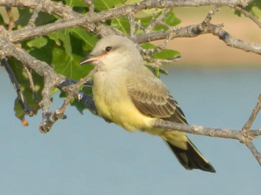 Fledgling Western Kingbird