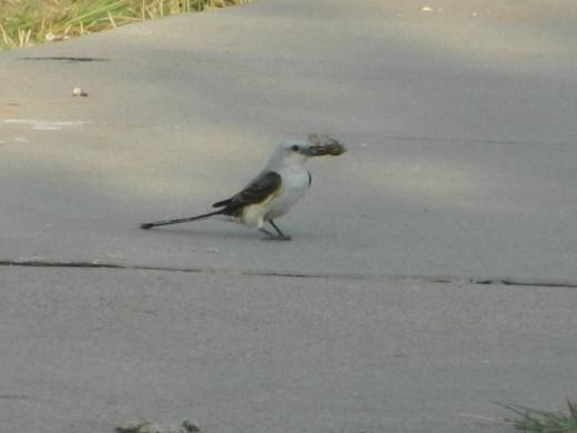 Scissor-Tailed Flycatcher with Cicada