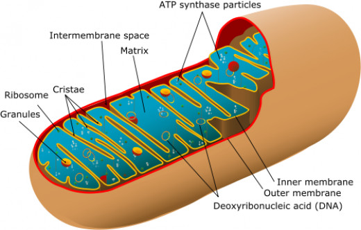 Mitochondria.  Co-Q10 supports the mitochondria of the cell.