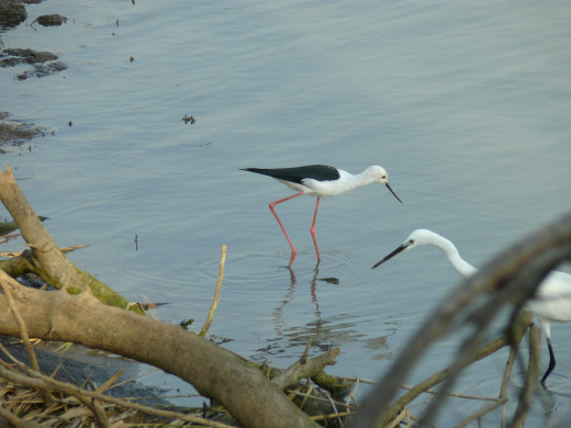 Black-winged Stilt and White Egret fishing in tandem