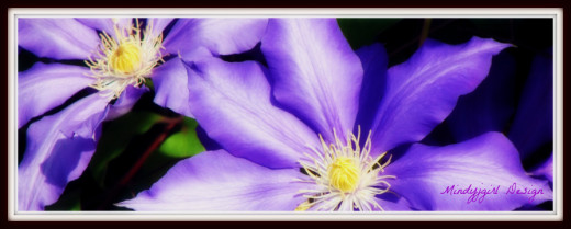 Clematis Flower in Cottage Grove , Oregon