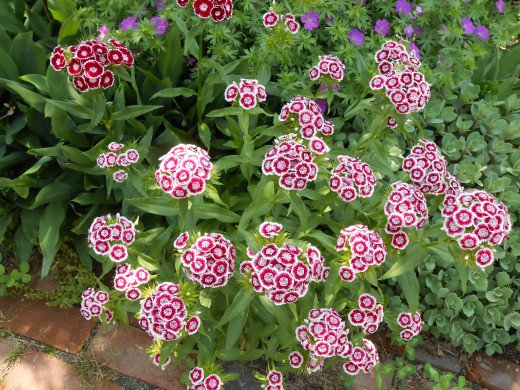 Sweet William grows in abundance in one of the gardens in the back yard of a house in the village.