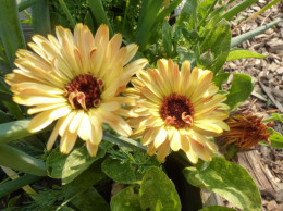 Dead heading Calendula will bring on more blooms.