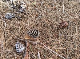Pine cones where pinoli come from