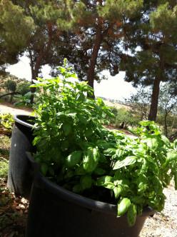 Healthy Cheap Recipes: Linguine Pasta al Garden Fresh Pesto Sauce