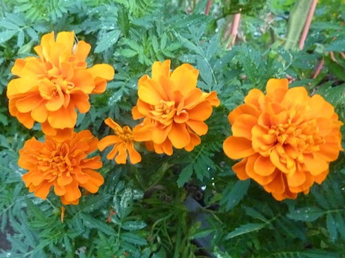 Marigolds are good companion plants. The bright flowers attract pollinators to the garden.