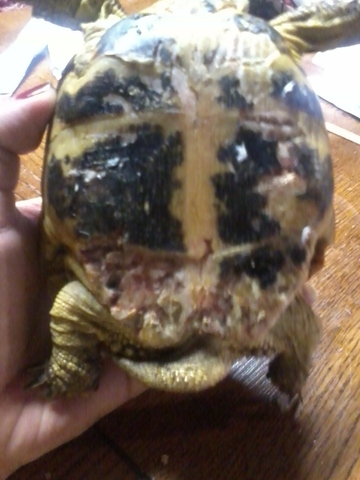 This tortoise had been attacked by dogs. It took the owners three weeks before giving it to someone who could help. This little guy suffered so much, but is doing just fine now.