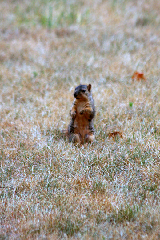 This appears to be a baby fox squirrel. It did not have a white tail.