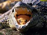 Alligators typically have seventy-eight to eighty cone shaped teeth.