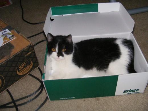 Munchkin in the box.