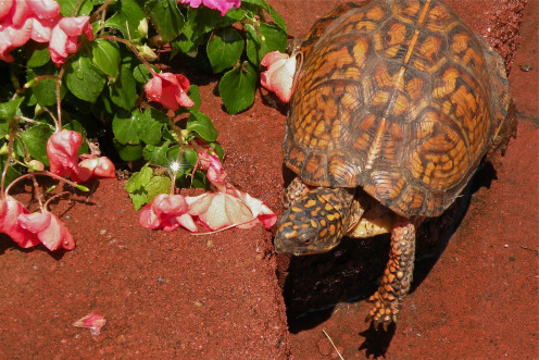 A box turtle visits my flower bed.