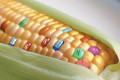 Pesticide factory in your stomach? GMO Health Effects: Why to avoid GMO Foods and BT Corn.