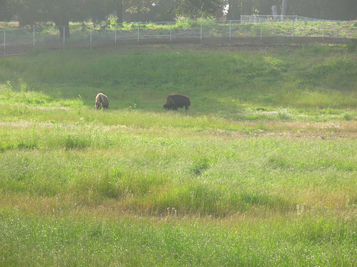 Bison live in Golden Gate Park.