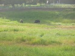 Bison live in Golden Gate Park.
