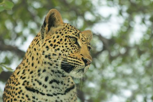 Zanzibar Leopard.