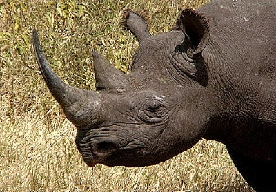 West African black rhinoceros.