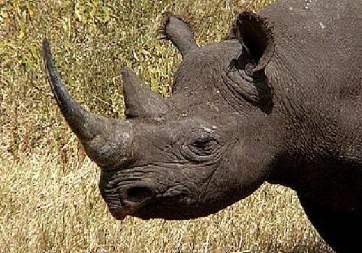 West African black rhinoceros.