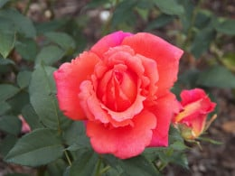 This rose starts out yellow and matures to this color.