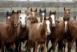Lifting the US Ban on Horse Slaughter