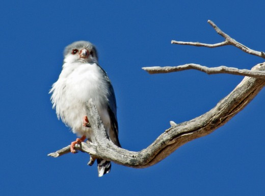 Smallest Raptor in Southern Africa
