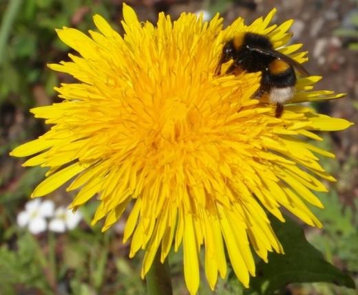 White tailed bumblebee on dandelion