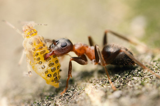 An Ant Transports An Aphid By Picking Him Up And Carrying Him