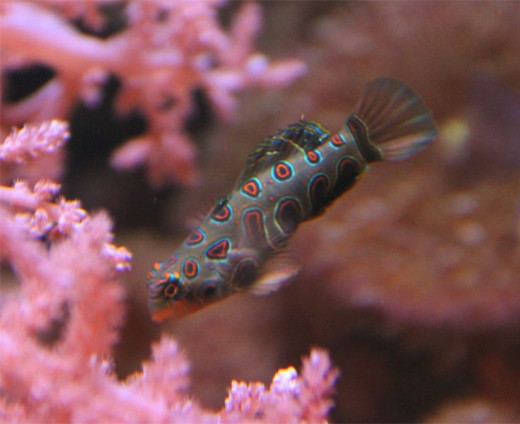 The spotted mandarin is one of the most striking marine fish available.