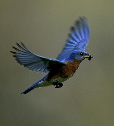 Eastern Bluebird in Arkansas.