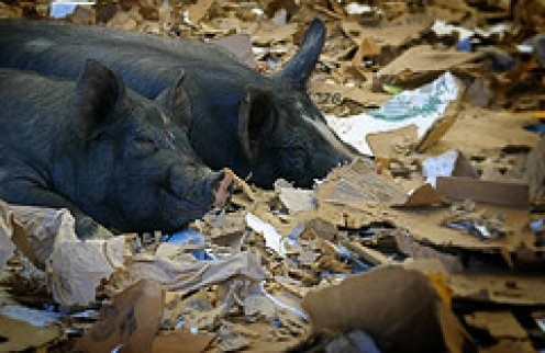 "Pigs are not the ""pet of choice"" for slobs."