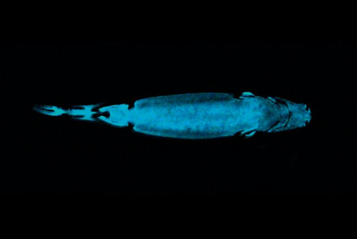 Velver belly lanternshark glowing with bio-luminescence
