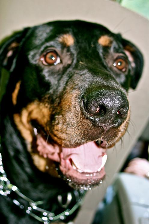 Foster Rottweiler, Bo