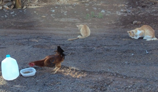 Red, the feral cat, looked like the cat on the right of this photo, but his orange-red fur was a deeper red.